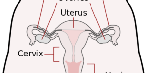 Diagram of Female Reproductive System